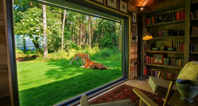 Tiger Lodge Port Lympne Reserve Live Inches Away From
