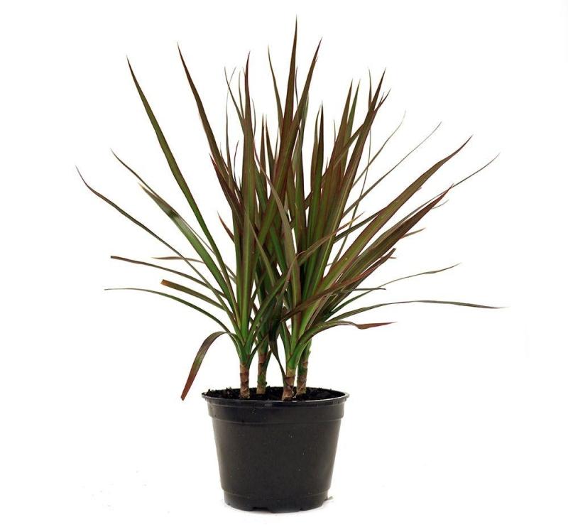 Dracena Indoor plant - vertical gardening