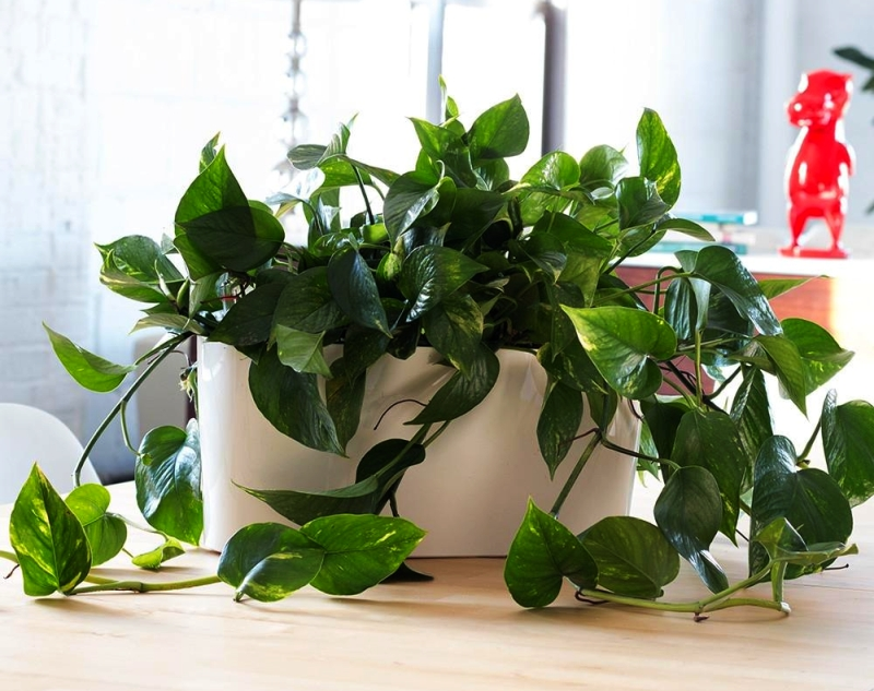 Epipremnum aureum Devil's Ivy - Indoor Planter