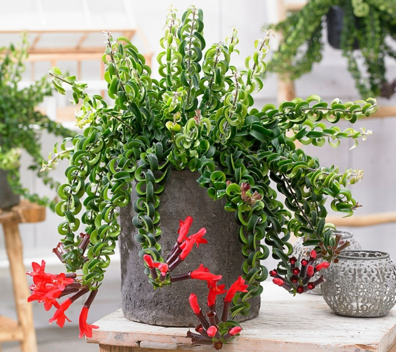 LIpstick plant - Vertical garden planter