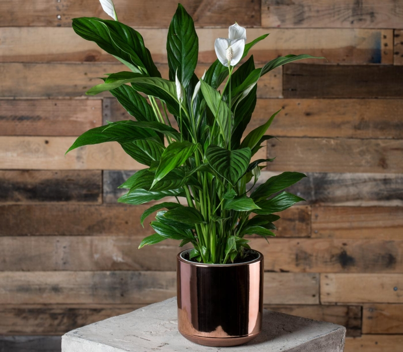 Peace Lily - Indoor vertical garden