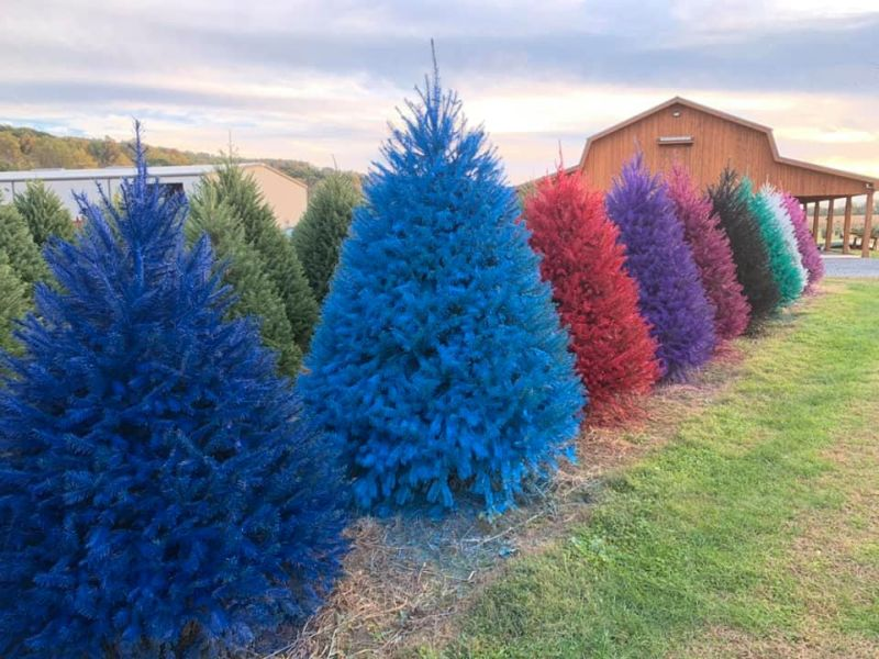 Wyckoff's Christmas Tree Farm Offering Colored Christmas Trees